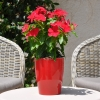 Catharanthus-Pervenche de Madagascar rouge fleurie