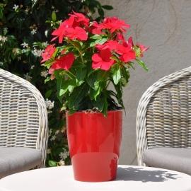 Catharanthus-Pervenche de Madagascar rose-clair fleur