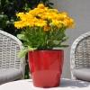 Gaillarde 'Arizona' Jaune Fleurie