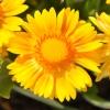 Gaillarde 'Arizona' Jaune Fleur