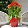 Gaillarde 'Arizona' Rouge Fleurie
