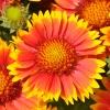Gaillarde 'Arizona' Rouge-Jaune Fleur