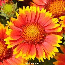 Gaillarde 'Arizona' Rouge Fleur