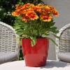 Gaillarde 'Arizona' Rouge-Jaune Fleurie