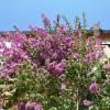 Bougainvillea specto-glabra 'Violet de Mèze'