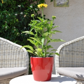 Echinacea 'Cheyenne Spirit' jaune fleur