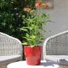 Echinacea 'Cheyenne Spirit' orange fleurie