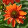 Echinacea 'Cheyenne Spirit' orange fleur