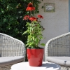 Echinacea 'Cheyenne Spirit' rouge fleurie