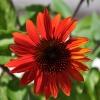 Echinacea 'Cheyenne Spirit' rouge fleur