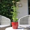 Echinacea 'Cheyenne Spirit' blanc fleurie