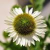 Echinacea 'Cheyenne Spirit' blanc fleur