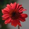 Echinacea 'Cheyenne Spirit' fuchsia fleur