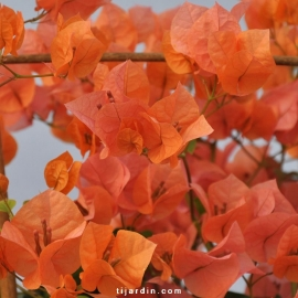 Bougainvillea 'Marie Orange'