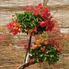 Bougainvillier greffée N°13 multicolore