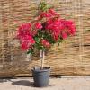 Bougainvillier greffée N°5 Fuchsia foncé