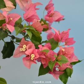 Bougainvillea 'Parme'