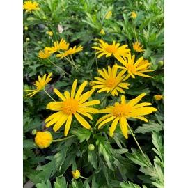 Euryops Chrysanthemoïdes