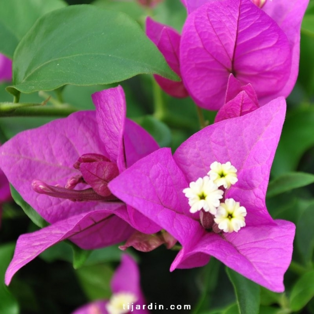 Bougainvillea 'Royal Purple'