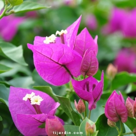 Bougainvillea 'Royal Purple'