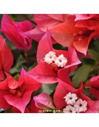 Bougainvillea 'Ruby'