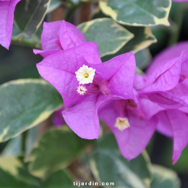 Bougainvillea 'Rumba'