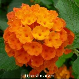 Lantana camara 'Orange de Corse'