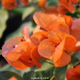 Bougainvillea 'San Diego Orange'