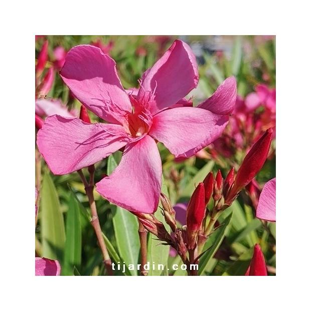Nerium oleander 'Cap Saint Vincent'