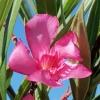 Nerium oleander 'Minouche'