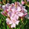 Nerium oleander 'Sealy Pink'