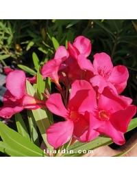 Nerium oleander 'Sainte Baume'