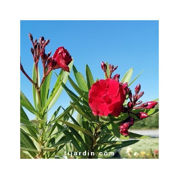 Nerium oleander 'Ruby'