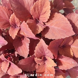 Coleus 'Red Head'