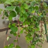 Lysimachia vert foncé