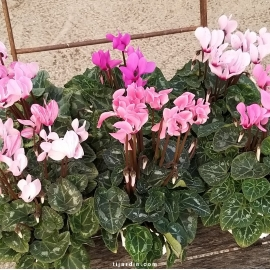 cyclamen minis 'couleurs pastel' par lot de 15
