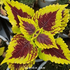 Coleus 'Golden Dreams' - Solenostemon
