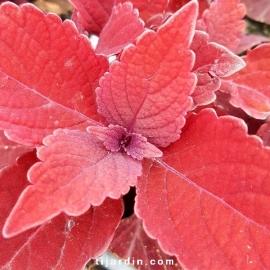 Coleus 'Rediculous' - Solenostemon