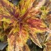 Coleus 'Purple Haze'-Solenostemon