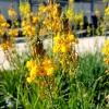 Bulbinella frutescens 'Hallmark' - Bulbine jaune