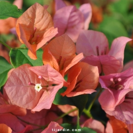 Bougainvillea 'Sundown Orange'
