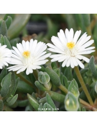 Delosperma Jewel of Desert