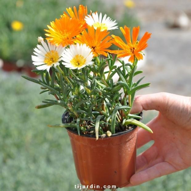 Lampranthus sp. à grosses fleurs