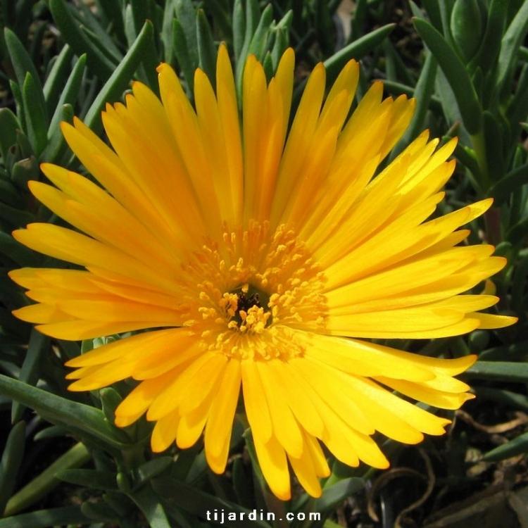 vente ficoides lamprathus grosses fleurs blanches jaunes orange clair ou orange fonc. Black Bedroom Furniture Sets. Home Design Ideas