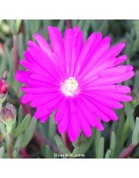 Lampranthus sp. à petites fleurs