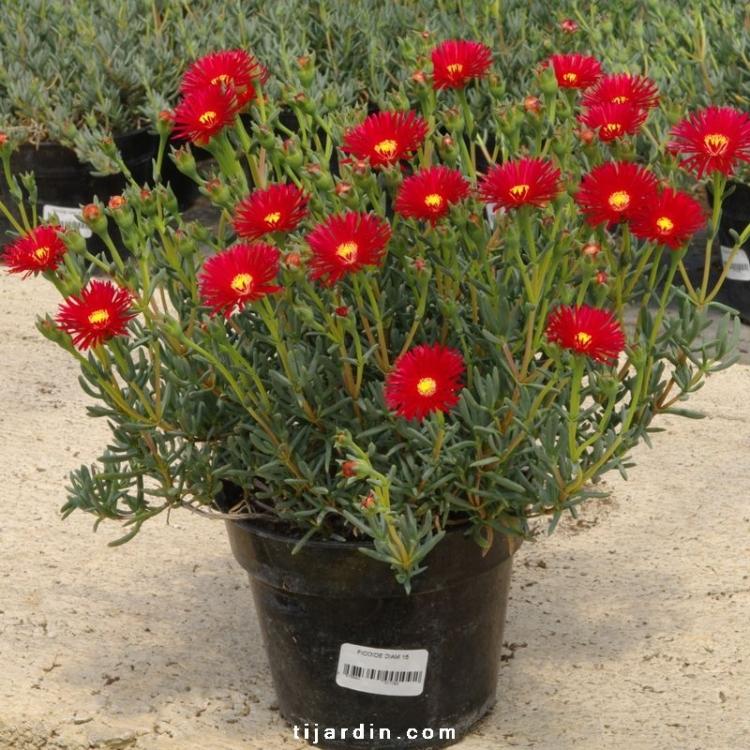 Lamprathus à petites fleurs : gamme de Ficoïdes colorés ...