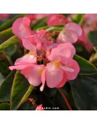 Begonia x 'Big' feuillage vert