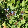 Plumabgo larpentae-Ceratostigma plumbaginoides-