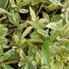 Solanum rantonnetii panaché