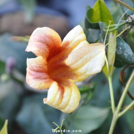 Campsis capreolata